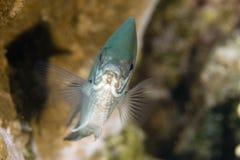 vaigiensis sergeant indo abudefduf Тихое океан Стоковая Фотография RF