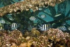 vaigiensis sergeant indo abudefduf Тихое океан Стоковое Изображение