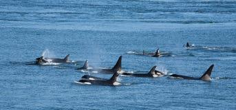 Vaina de la orca foto de archivo