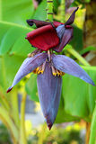 Vaina de la palmera del plátano Imagen de archivo libre de regalías