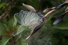 Vaina de la semilla de la bromelia con el primer plumoso del detalle de las semillas imagenes de archivo