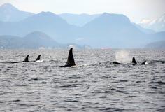 Vaina de las orcas residentes de la costa cerca de Sechelt, A.C. Fotos de archivo