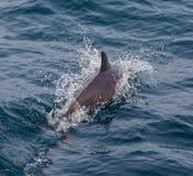 Vaina de los delfínes rayados Azores Foto de archivo