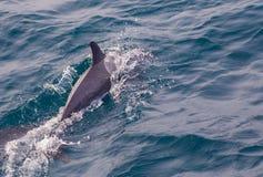 Vaina de los delfínes rayados Azores Imagen de archivo
