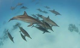 Vaina de los delfínes salvajes del hilandero Fotos de archivo libres de regalías
