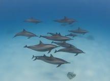 Vaina de los delfínes salvajes del hilandero Foto de archivo libre de regalías