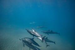 Vaina de los delfínes salvajes subacuáticos imagenes de archivo
