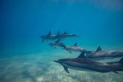 Vaina de los delfínes salvajes subacuáticos fotografía de archivo