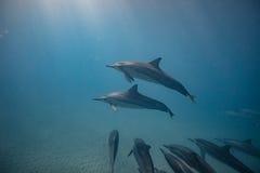 Vaina de los delfínes salvajes subacuáticos imágenes de archivo libres de regalías