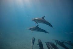 Vaina de los delfínes salvajes subacuáticos imagen de archivo libre de regalías