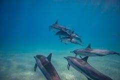 Vaina de los delfínes salvajes subacuáticos fotos de archivo
