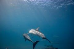 Vaina de los delfínes salvajes subacuáticos foto de archivo libre de regalías