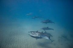 Vaina de los delfínes salvajes subacuáticos fotografía de archivo libre de regalías