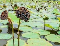 Vaina de Lotus Fotos de archivo libres de regalías
