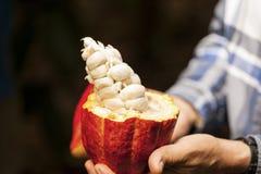 Vaina del cacao Costa Rica fotos de archivo