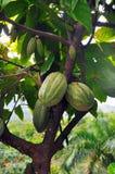 Vaina del cacao en árbol Imágenes de archivo libres de regalías