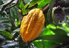 Vaina del cacao en árbol Foto de archivo