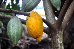Vaina del cacao en árbol Fotografía de archivo