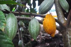 Vaina del cacao en árbol Foto de archivo libre de regalías
