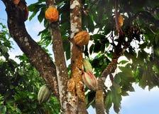 Vaina del cacao en árbol Fotos de archivo