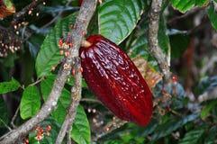 Vaina del cacao en árbol Imagen de archivo libre de regalías
