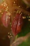 Vaina del cacao lista para la cosecha Fotografía de archivo libre de regalías