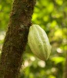 Vaina del chocolate en árbol Imagenes de archivo