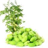 Vaina joven verde de los garbanzos con la planta en fondo blanco puro Fotografía de archivo libre de regalías