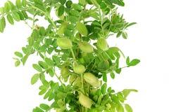 Vaina joven verde de los garbanzos con la planta en fondo blanco puro Imagenes de archivo