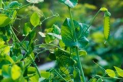 Vaina madura de guisantes verdes en jardín en granja Imagenes de archivo