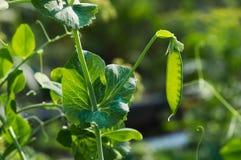 Vaina madura de guisantes verdes en jardín en granja Fotos de archivo