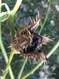 Vaina madura de la semilla de Stramonium de la datura imagen de archivo libre de regalías