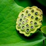 Vaina y hoja de la semilla de Lotus Imagen de archivo