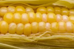 Vainas amarillas del maíz preparadas en un contexto blanco fotografía de archivo libre de regalías
