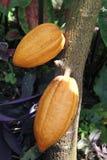 Vainas crecientes del cacao imagenes de archivo