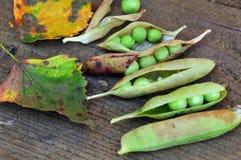 Vainas de guisantes maduros con las hojas de otoño en fondo de madera Aún-vida del otoño foto de archivo libre de regalías