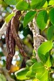 Vainas de la algarroba del árbol de algarroba (siliqua del Ceratonia) fotografía de archivo libre de regalías