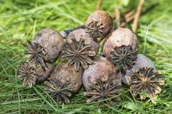 Vainas de la amapola - cabezas de la amapola Foto de archivo