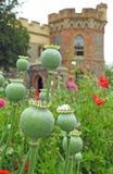 Vainas de la semilla de amapola de las amapolas que crecen en prado de los campos de los parques de los argumentos del jardín del fotos de archivo