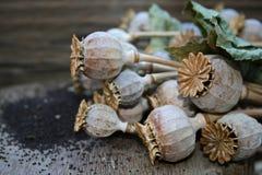 Vainas de la semilla de amapola Foto de archivo libre de regalías