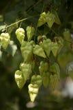 Vainas de la semilla de la buganvilla Foto de archivo libre de regalías