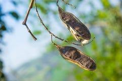 Vainas de la semilla del acacia Imagen de archivo libre de regalías