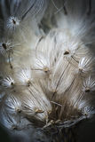 Vainas de la semilla del cardo Imagenes de archivo