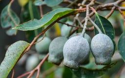 Vainas de la semilla del eucalipto que cuelgan en cierre de la rama para arriba Foto de archivo