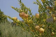 Vainas de la semilla del milkweed del cisne Foto de archivo libre de regalías