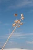 Vainas de la semilla, desierto blanco de las arenas Foto de archivo libre de regalías