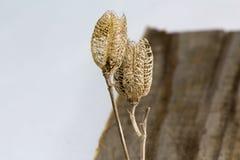Vainas de la semilla en vieja vertical de madera del tablero Imágenes de archivo libres de regalías