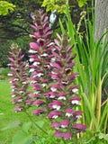Vainas de la semilla de las plantas de las flores de la dedalera de las dedaleras que se arrastran que suben imagen de archivo libre de regalías
