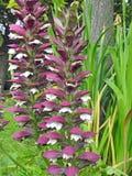 Vainas de la semilla de las plantas de las flores de la dedalera de las dedaleras que se arrastran que suben fotos de archivo libres de regalías