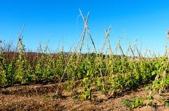 Vainas de la soja en el campo soleado Imagenes de archivo